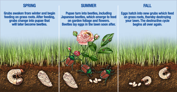 life and death cycle of japanese beetles